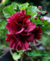 Regal Geranium flower cultivar Brandy