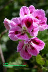 Regal Geranium flowers cultivar Allira