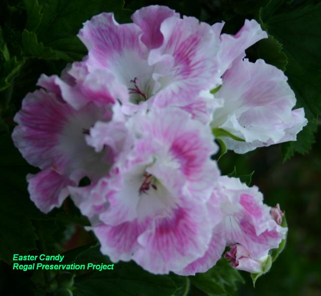 geraniumsonline, Geraniaceae, Geranium Family, Geranium ...