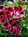 Regal Geranium flowers cultivar Elegance Beauty