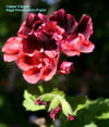 Regal Geranium flowers cultivar Copper Canyon