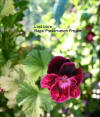 Regal Geranium flower cultivar Lost Love