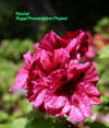 Regal Geranium flowers cultivar Rachel
